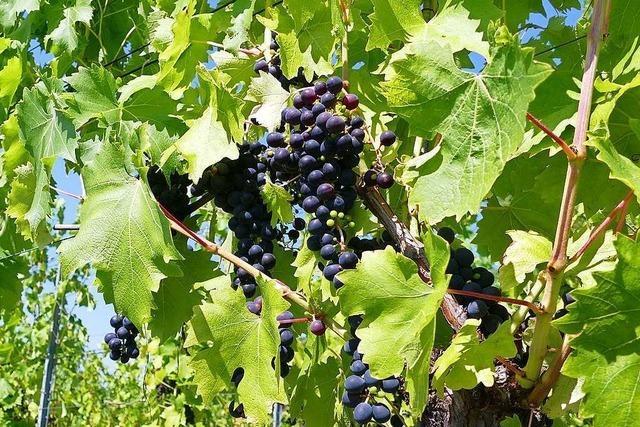 Haltinger Winzer ernten ab Montag für die ersten Sektgrundweine