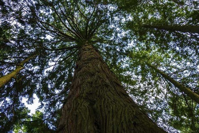 1000 junge Douglasien sind im Schopfheimer Stadtwald vertrocknet