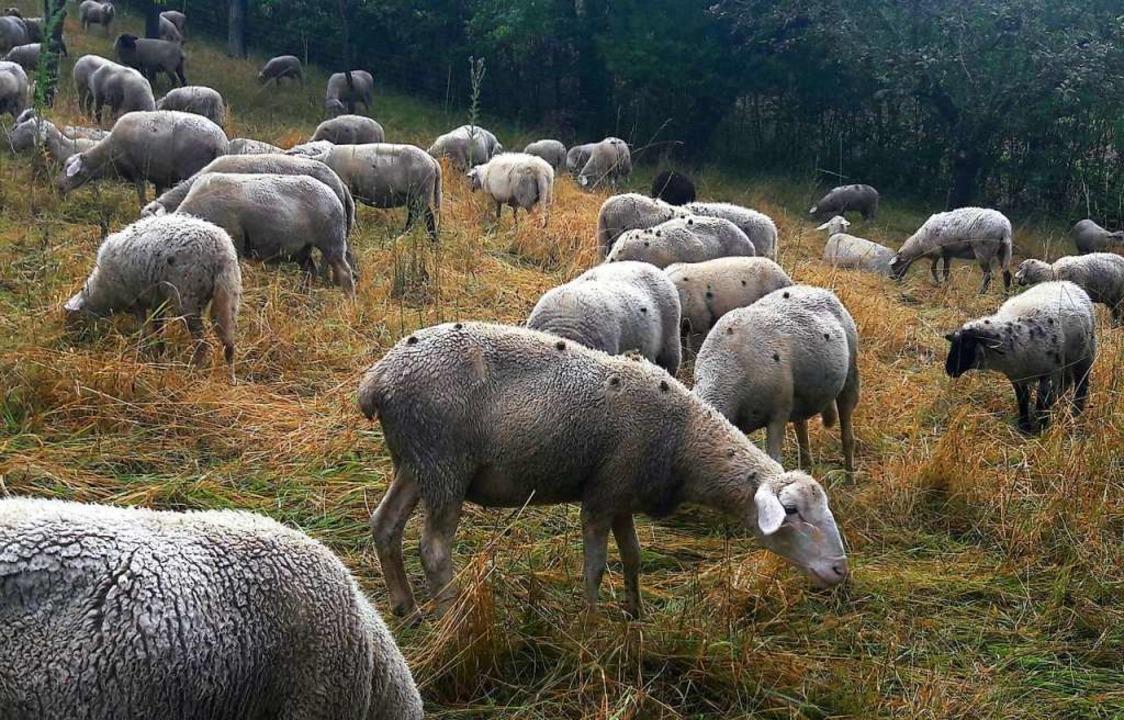 Aus den Kletten im Fell der Schafe fallen Samen.    Foto: Armin Wikmann