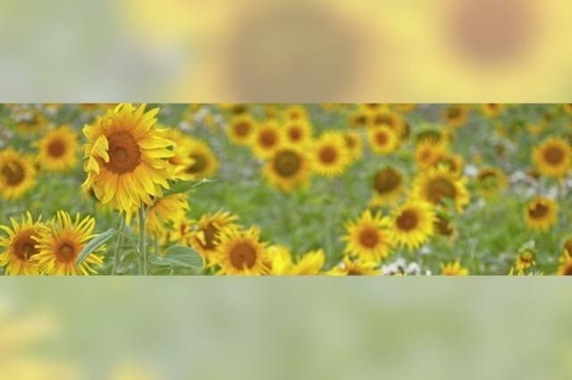 Sonnenblumen soweit das Auge reicht
