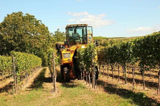 Zwischen Kaiserstuhl und Markgräflerland hat die Weinlese begonnen