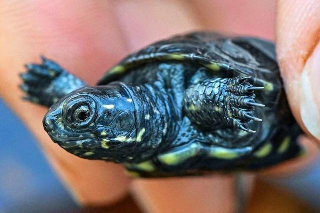 In Brandenburg wird die Sumpfschildkröte gezüchtet und ausgewildert