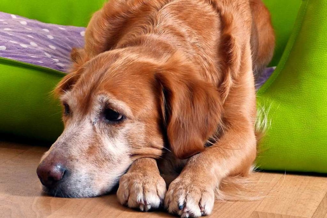 Das ist ein echter, traurig guckender Hund (Symbolfoto)    Foto: Jana Broghammer  (stock.adobe.com)