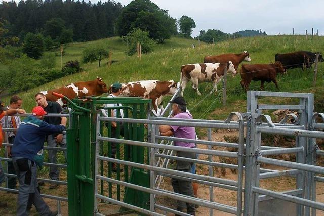 Seit 60 Jahren arbeiten in Marzell Kühe im Dienst der Landschaftspflege