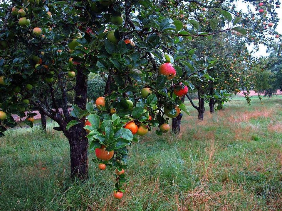Auf dieser Streuobstwiese zeigt sich ein gutes Apfeljahr 2020.  | Foto: Jutta Schütz