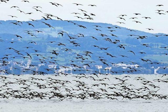 Hunderte Kormorane sammeln sich am Bodensee