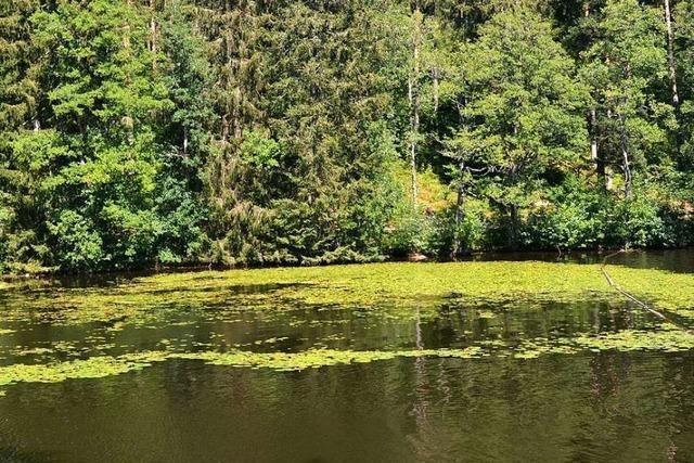 Biber und Bisam setzen der Gelben Teichrose am Schlüchtsee zu