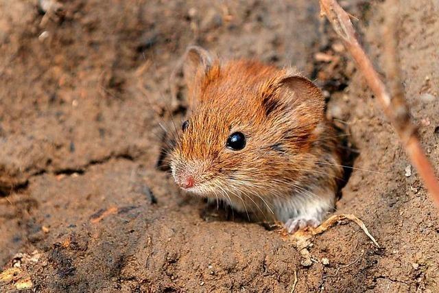 Maus legt Internet in Istein lahm