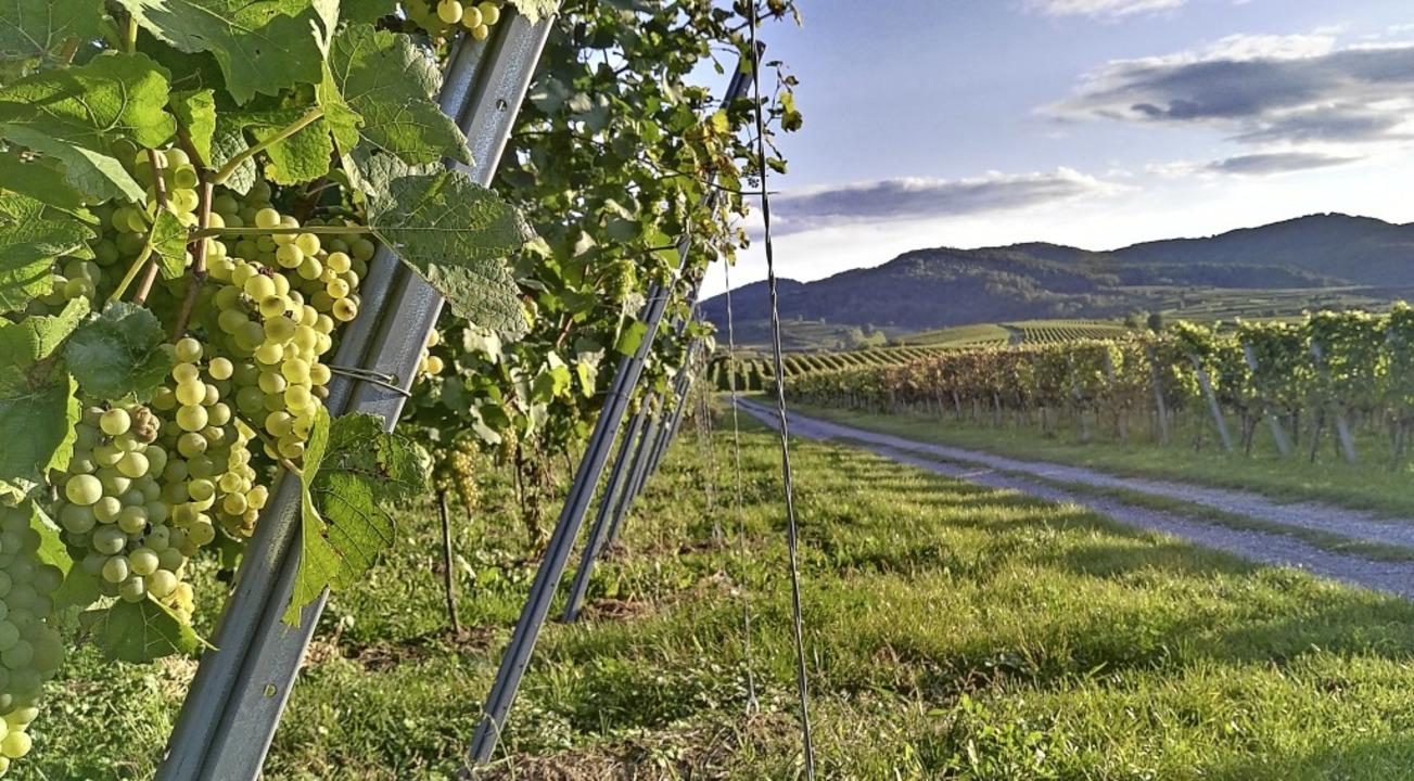 Idylle pur in den Weinbergen zwischen Riegel und Endingen.   | Foto: Martin Wendel