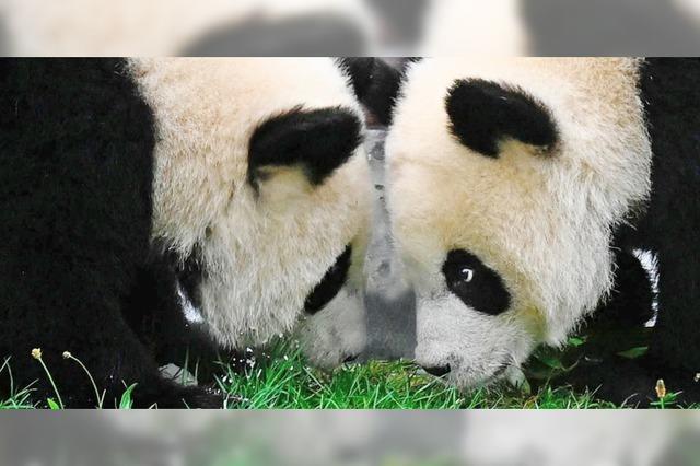 Berliner Panda-Zwillinge feiern Geburtstag