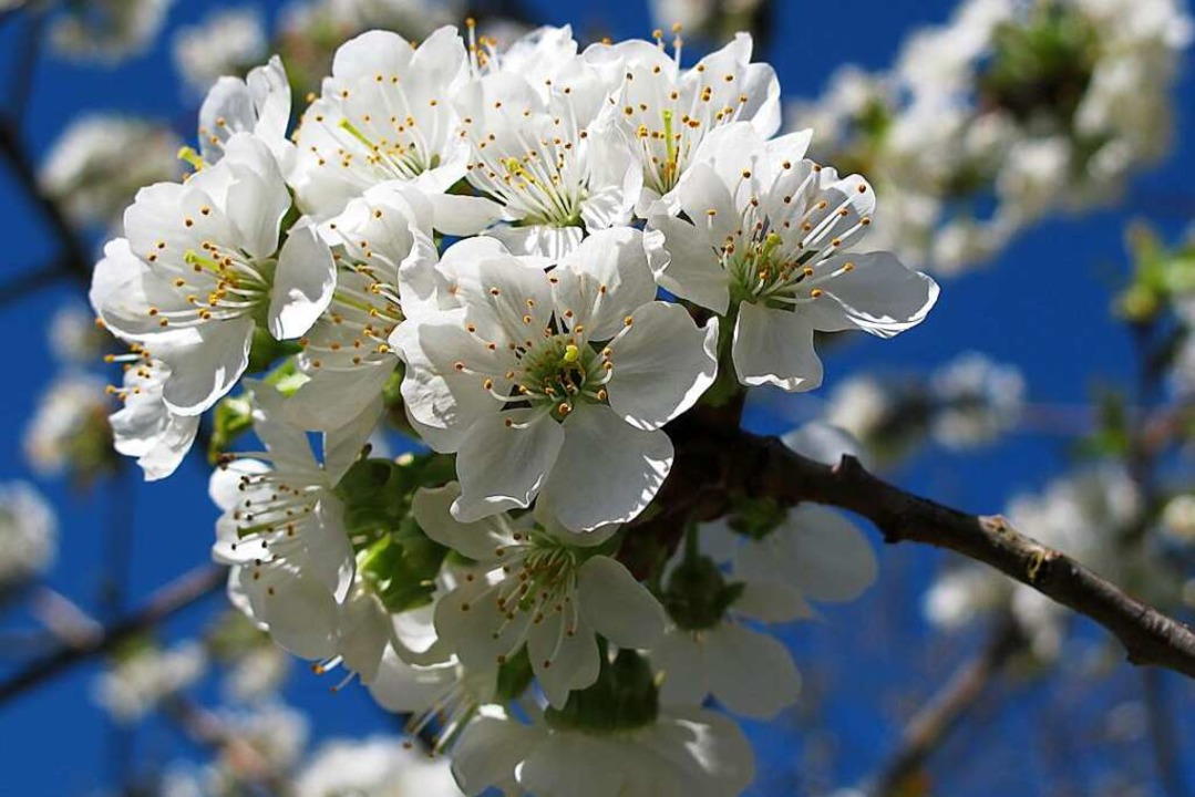 Weiß wie Schnee leuchten die Blüten der Kirschbäume im Eggenertal.  | Foto: Jutta Schütz