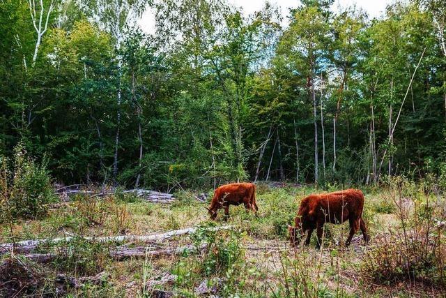 Freie Rinder und Pferde helfen den Wilden Weiden im Naturschutzgebiet Taubergießen