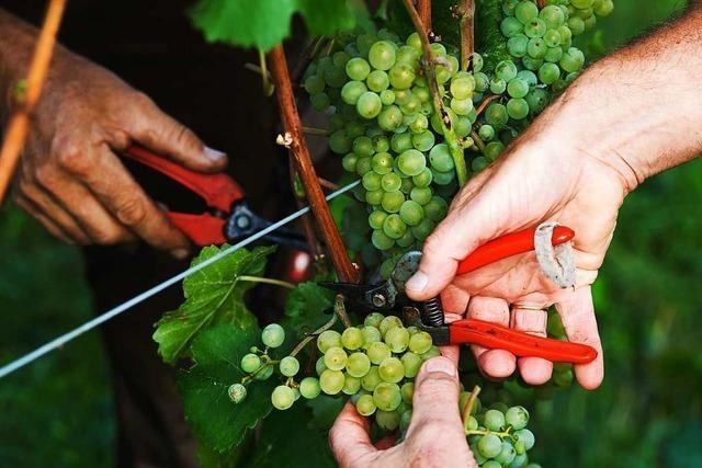 Neues Weinrecht bereitet Genossenschaften Sorgen