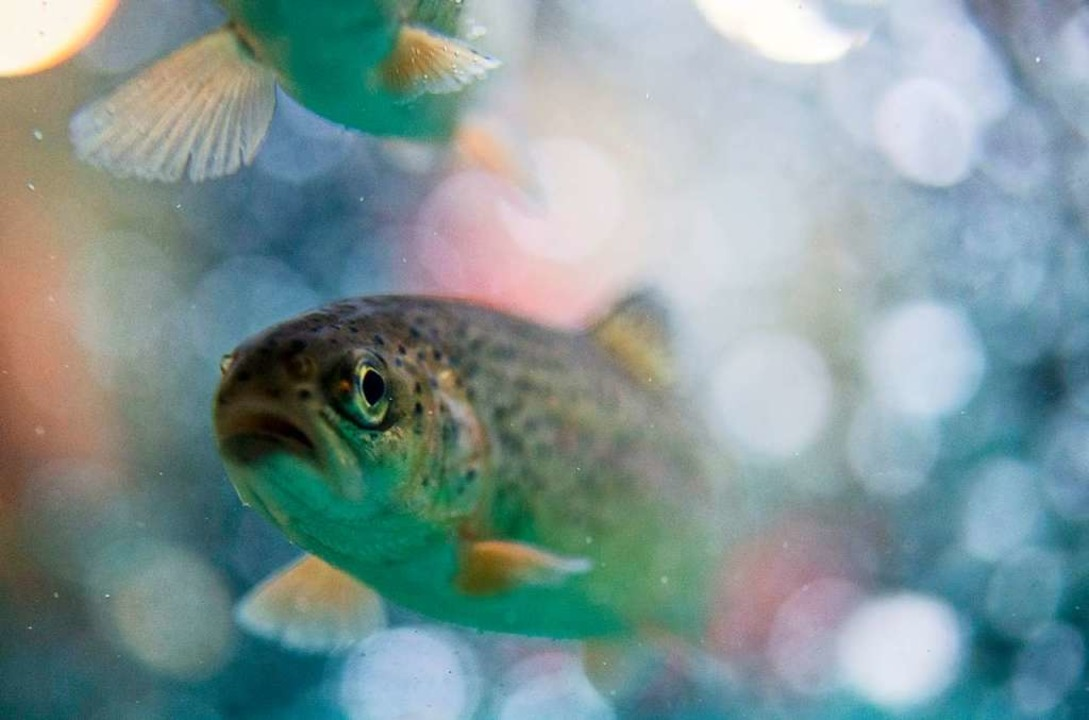 Die Becken einer Fischzucht in Wehr mussten nicht abgepumpt werden.   | Foto: Bernd Thissen
