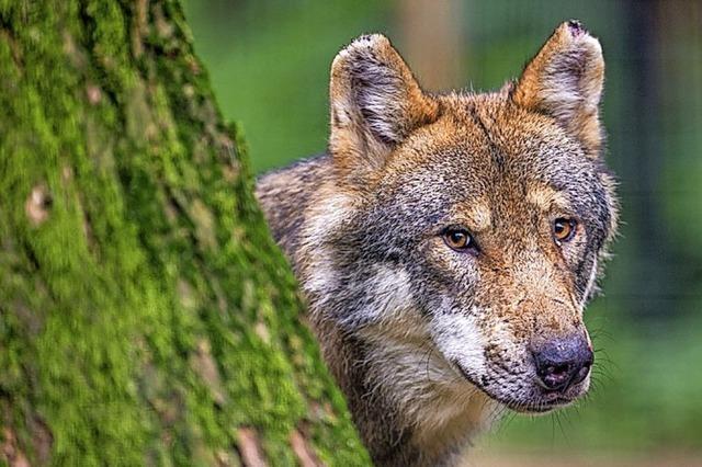 Wolfsprävention: Förderkulisse stark erweitert