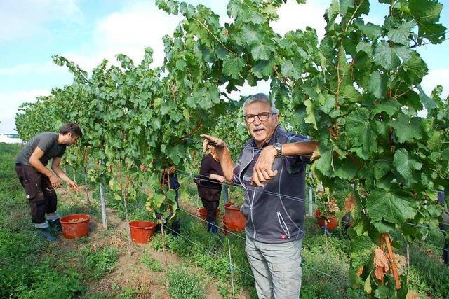 Das Lahrer Weingut Wöhrle setzt bei der Lese auf regionale Helfer