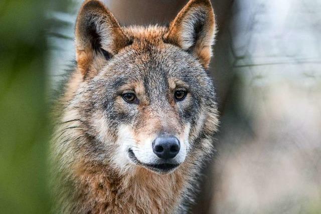 Bei den Gemeinderäten in Wieden ist der Wolf nicht willkommen
