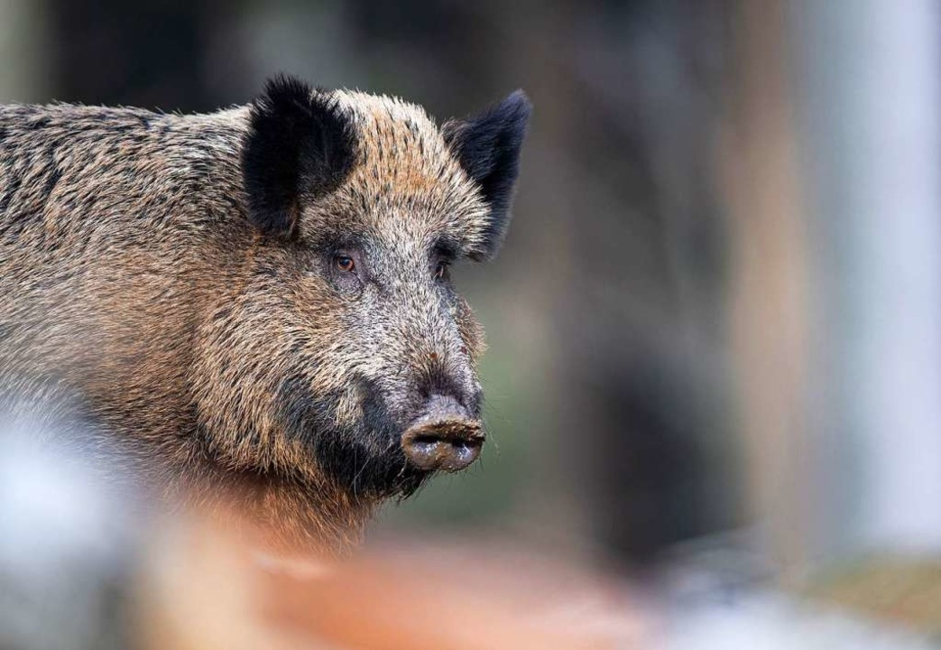 Bei einem Wildschwein in Brandenburg w...frikanische Schweinepest festgestellt.  | Foto: Lino Mirgeler (dpa)