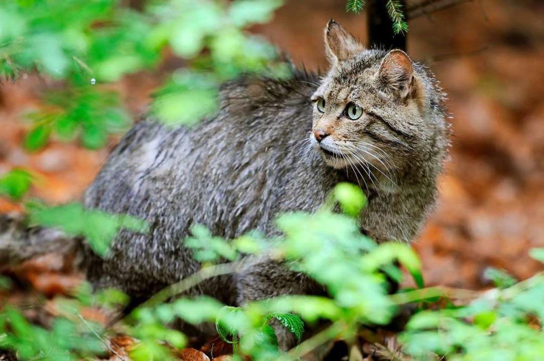 Die Wildkatze streift am liebsten durch dicht bewachsenes Gelände.    Foto: Ronald Wittek