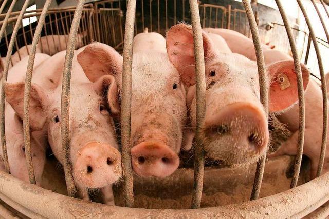 Afrikanische Schweinepest bringt deutschen Fleischexport in Gefahr