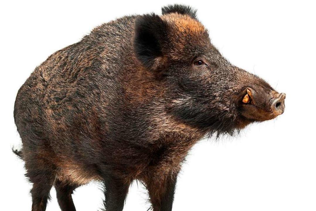 Im Kadaver eines toten Wildschweins in... wurde das Virus bislang nachgewiesen.  | Foto: Eric Isselée