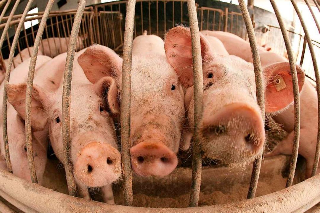 Springt das Virus von dem toten Wildsc...P führt zum raschen Tod von Schweinen.  | Foto: Patrick Pleul