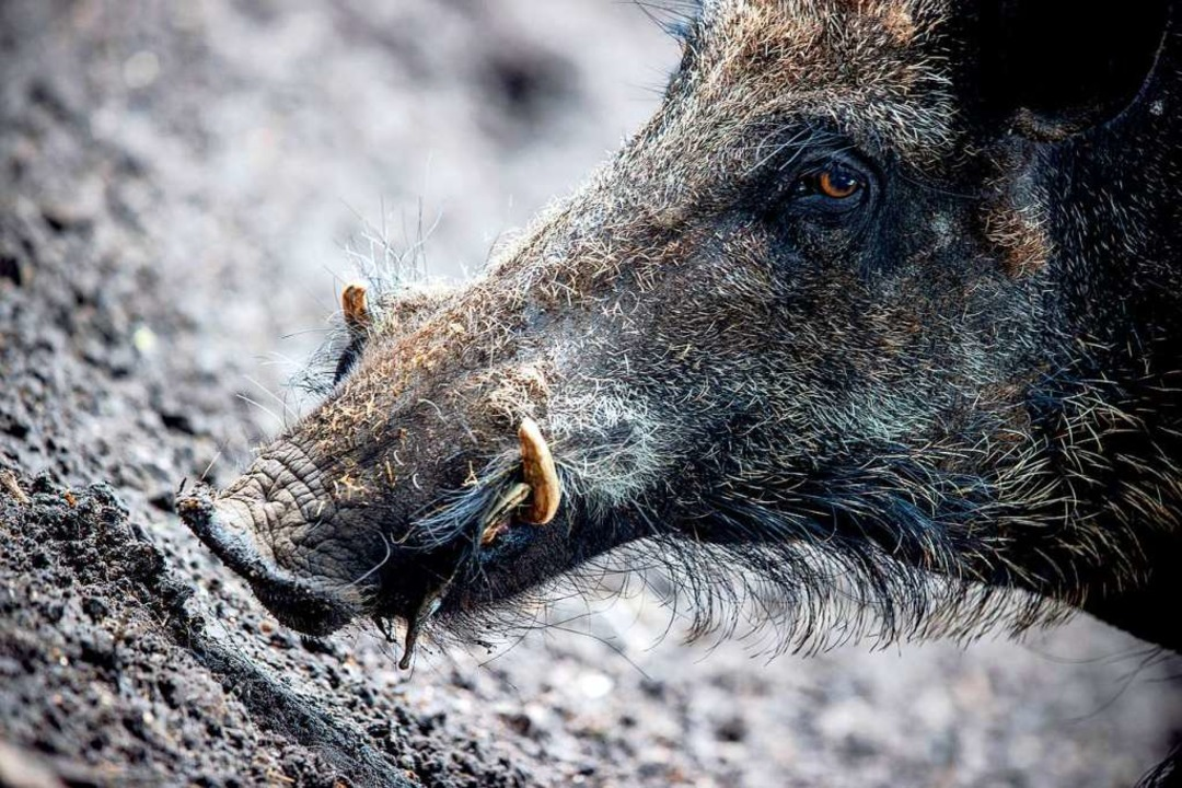 Wildschweine verbreiten die Afrikanisc...lich - sie können sie aber übertragen.  | Foto: Jens Büttner (dpa)