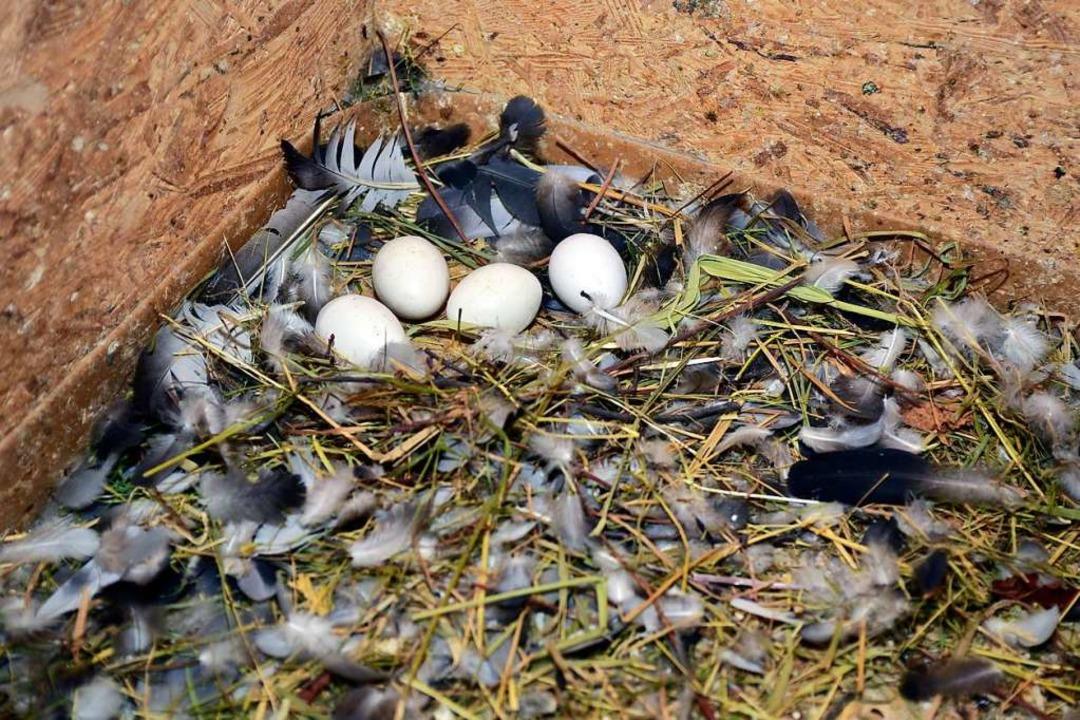 Falsche Eier sollen die Tauben vom Ausbrüten echter Eier abhalten.  | Foto: Thomas Kunz