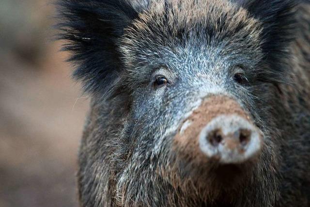 Was ist die Schweinepest?