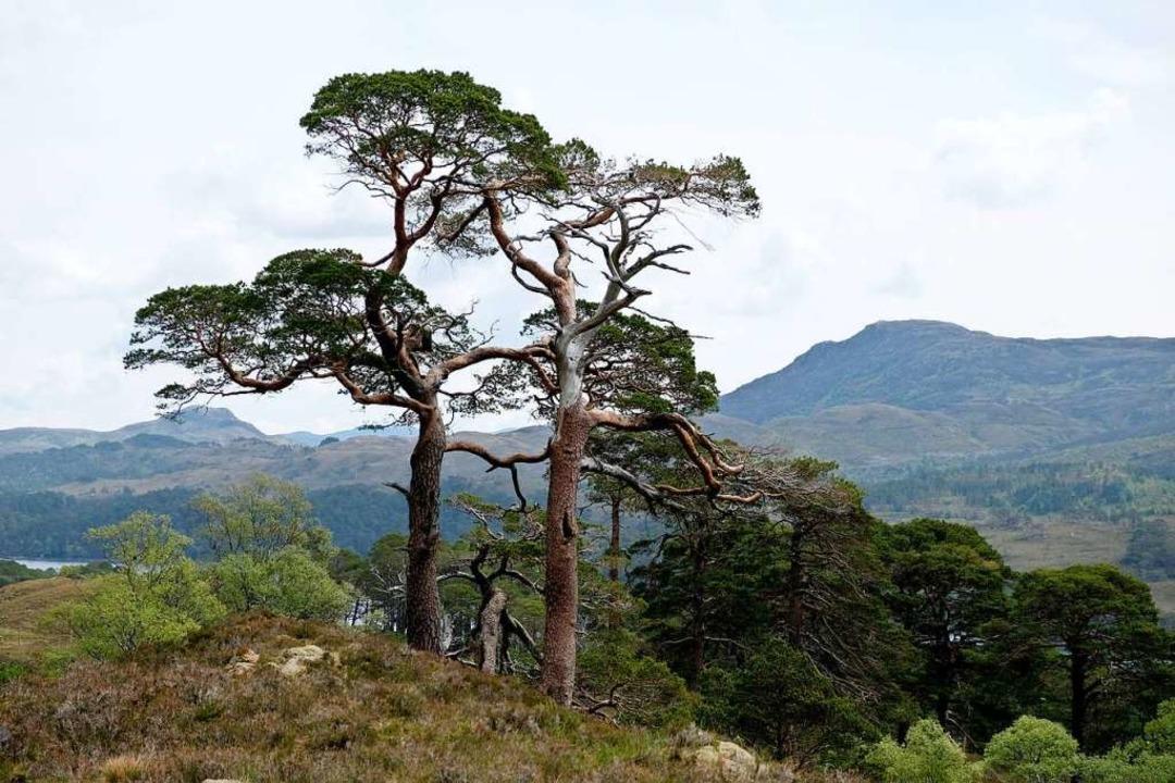 Selten gewordene Bäume: Kaledonische  ...h Affric in den schottischen Highlands  | Foto: Florian Sanktjohanser (dpa)