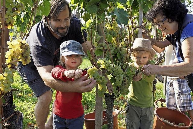 Heimatverein erntet historischen Wein