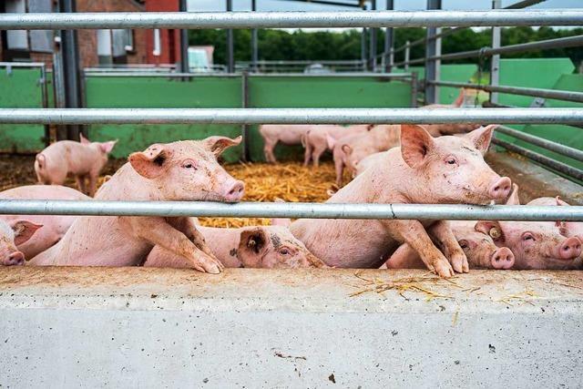 Für Schweinemastbetriebe ist die Schweinepest ein harter Schlag