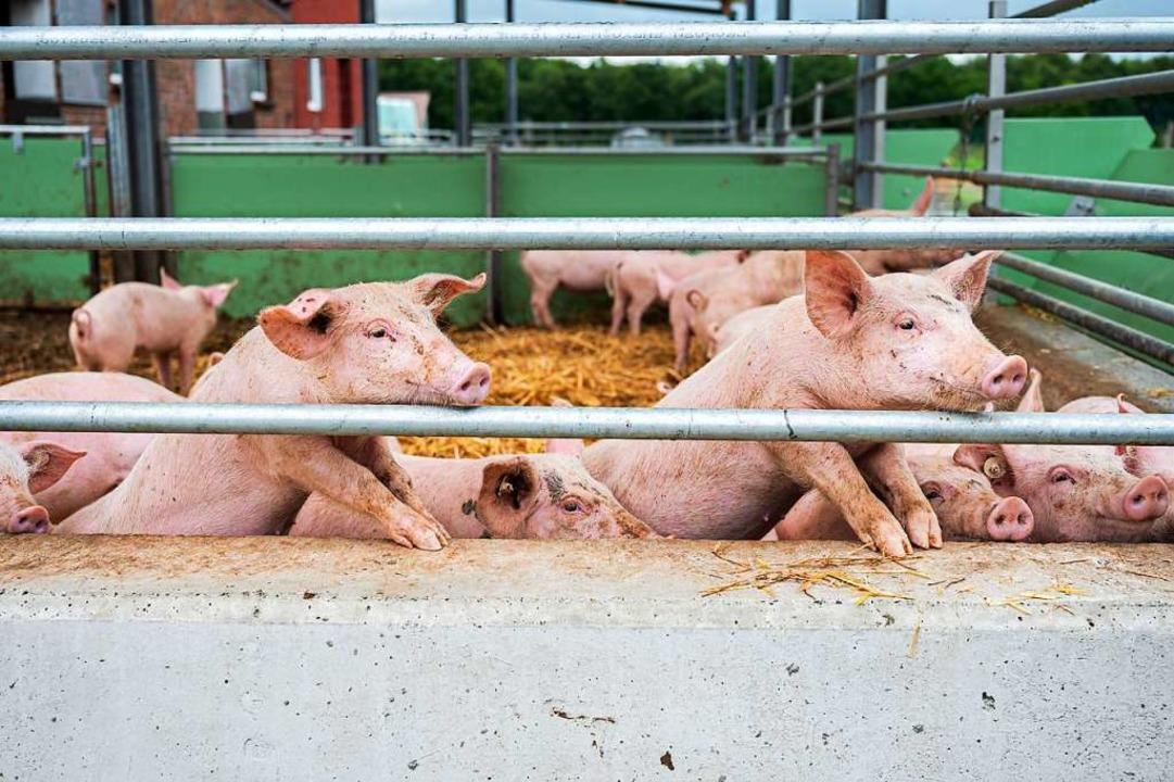Für Schweine ist die Krankheit sehr gefährlich.  | Foto: Mohssen Assanimoghaddam (dpa)
