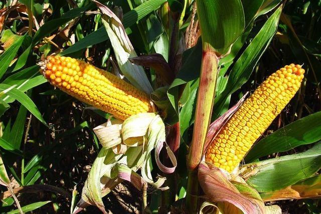 Der Mais im Kreis Lörrach leidet unter Trockenheit – erneut