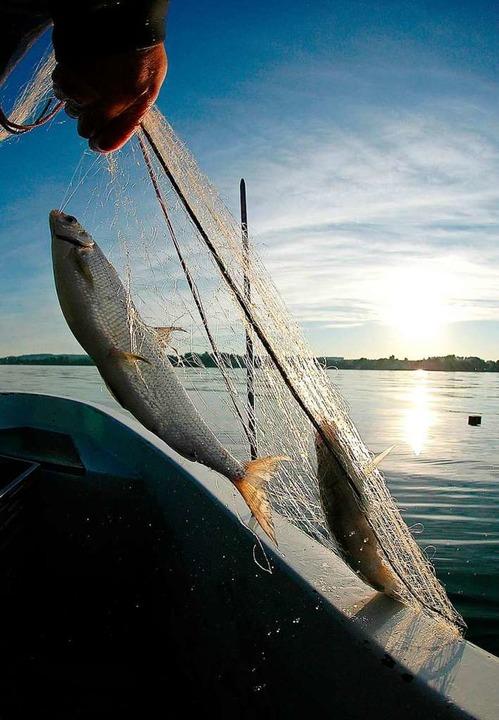 Fischer ziehen beim Einholen der Netze immer weniger Fische aus dem Wasser.  | Foto: Wolfgang Schneider
