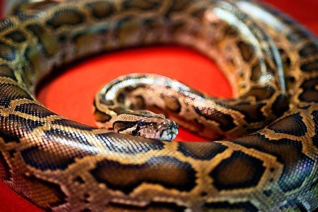 Lebendige Schlange als Mund-Nasen-Schutz im Bus nicht zulässig