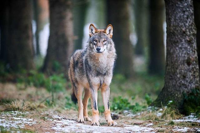 Auch in der Schweiz wird über den Wolf gestritten
