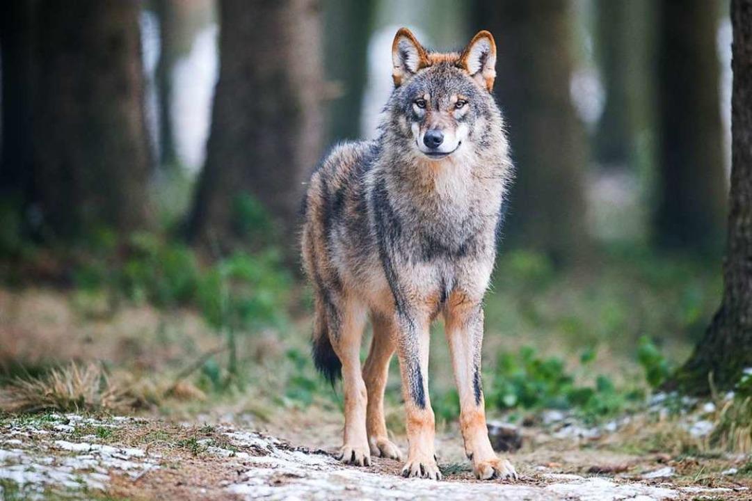 Nicht bei allen willkommen:  In der Schweiz leben heute 80 Wölfe.  | Foto: Bernd Thissen