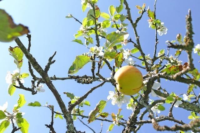 Apfelbaumblüte im Spätsommer