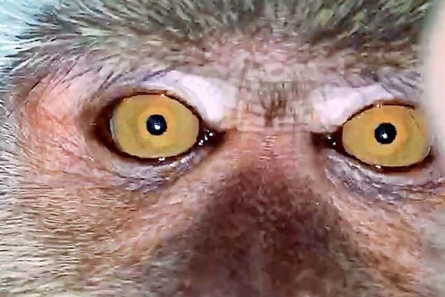 Dieser Affe hat ein Selfie gemacht