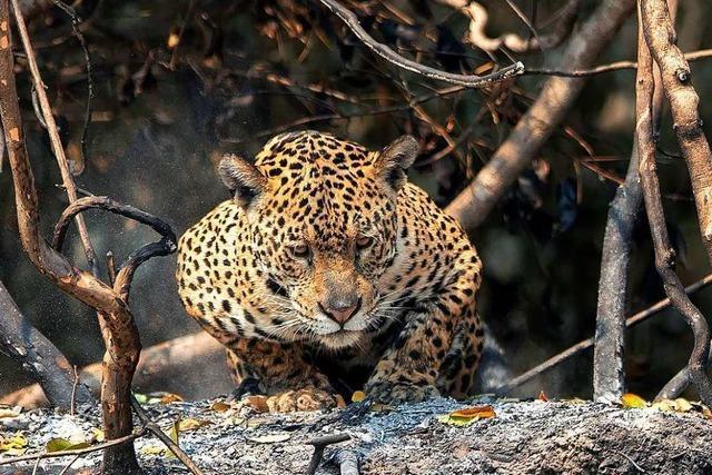 In den Flammen der südamerikanischen Waldbrände verenden die Tiere