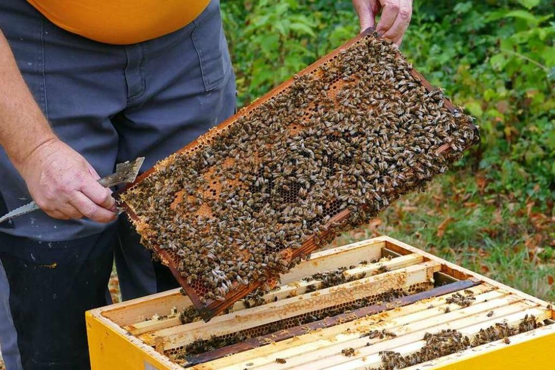 Ein Bienenvolk.  | Foto: Dora Schöls