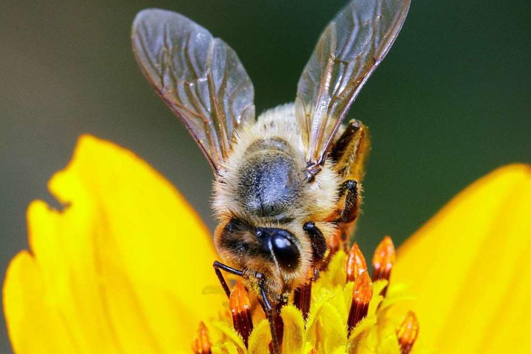 Eine Honigbiene sammelt Nektar.  | Foto: yod77 (stock.adobe.com)