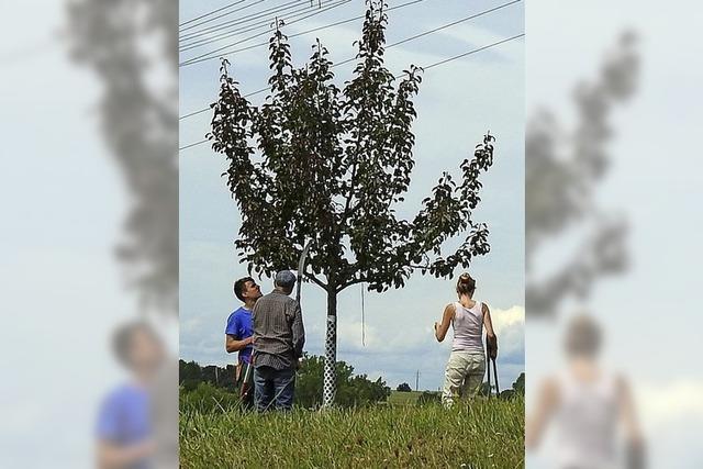 Streuobstbäume in Fasson gebracht