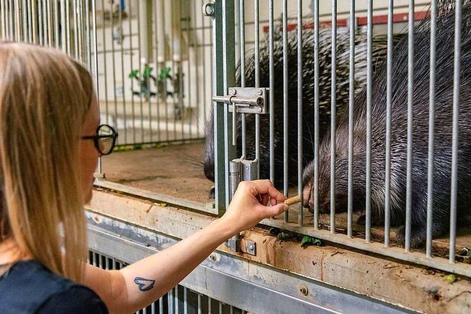 Die kleinen Stachelschweine werden gefüttert. (Foto: Jonas Hirt)