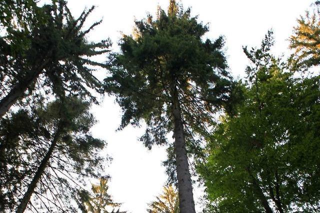 Der Klimawandel setzt dem Friesenheimer Gemeindewald zu
