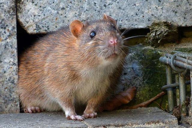 Bad Säckingen geht mit intelligenten Köderboxen gegen Ratten vor