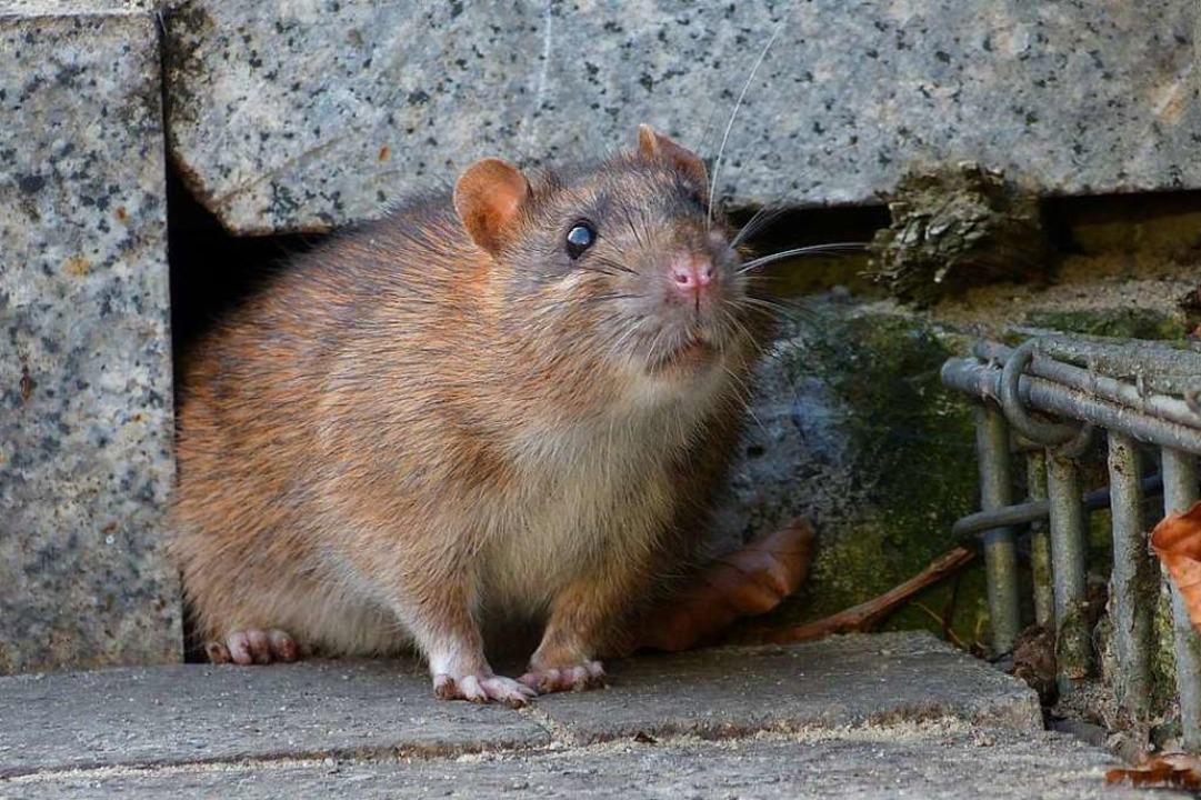 Eine Ratte in der Stadt: Den Nagern ge...oderner Technik ans Fell (Symbolbild).  | Foto: lberlik  (stock.adobe.com)