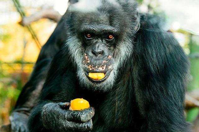 Schimpanse Benny lebt seit 50 Jahren im Karlsruher Zoo