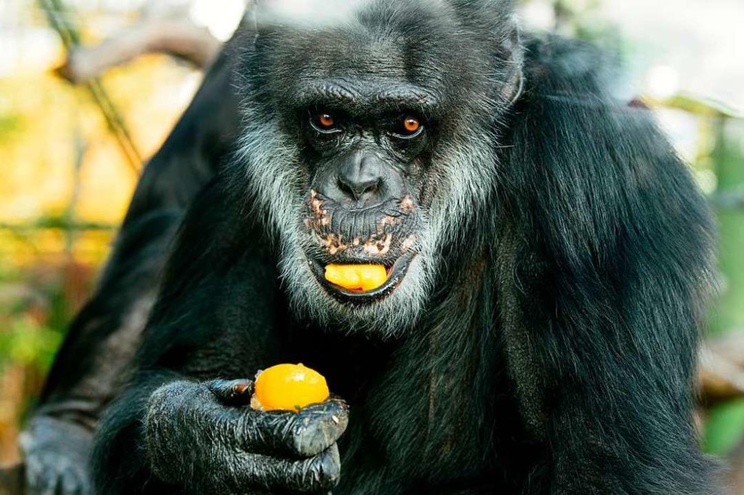 Am 31. August 1970 kam Schimpanse Benn... ist er ein Star unter den Zoo-Tieren.  | Foto: Sina Schuldt